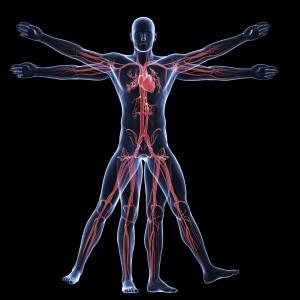 vitruvian man - vascular system